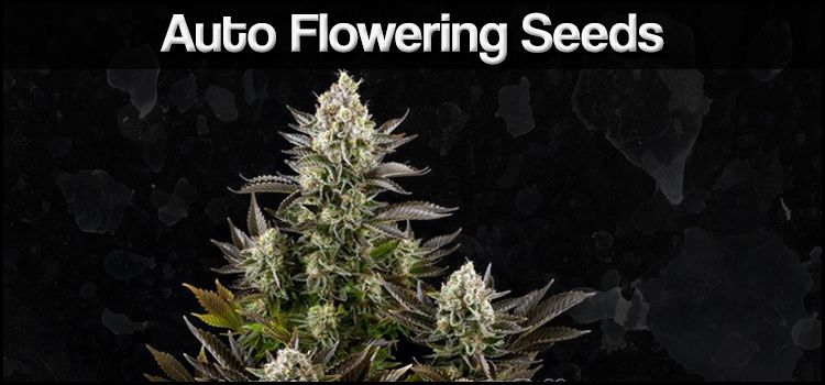 Buy Auto Flowering Cannabis Seeds Online