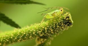 close up of an aphid