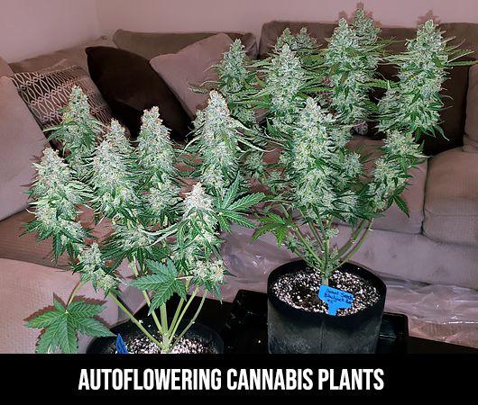 autoflowering plants size