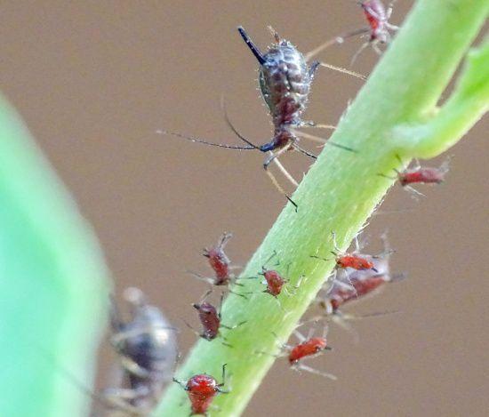 black aphid