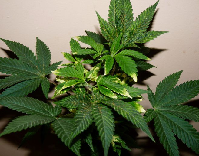cannabis plant damage from mites