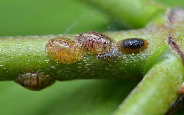 brown warts on stem
