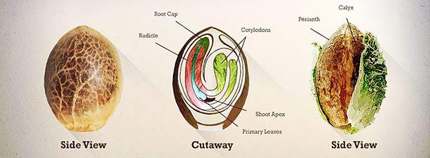 anatomy of the cannabis seed