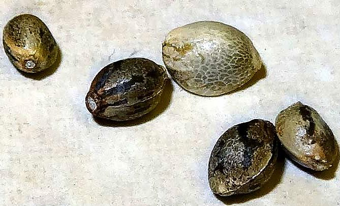 colour and patterns of cannabis seeds
