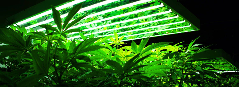 lighting for cannabis