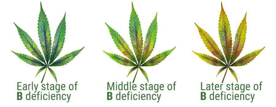 stages of boron deficiency