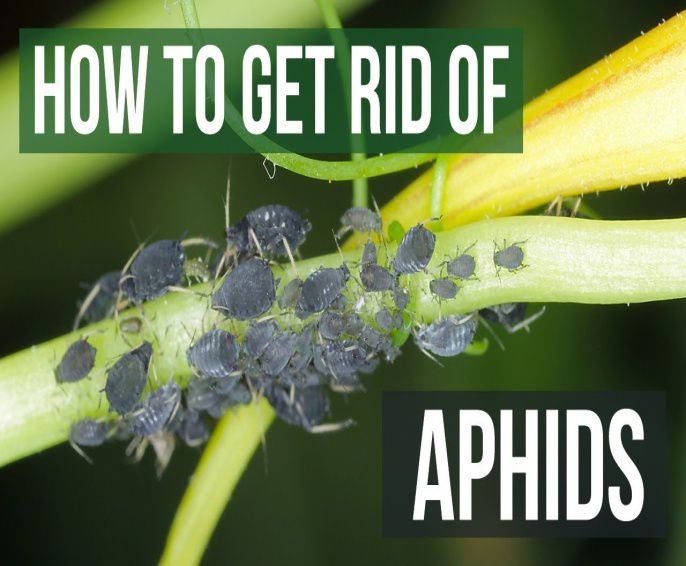 3 options for getting rid of aphids