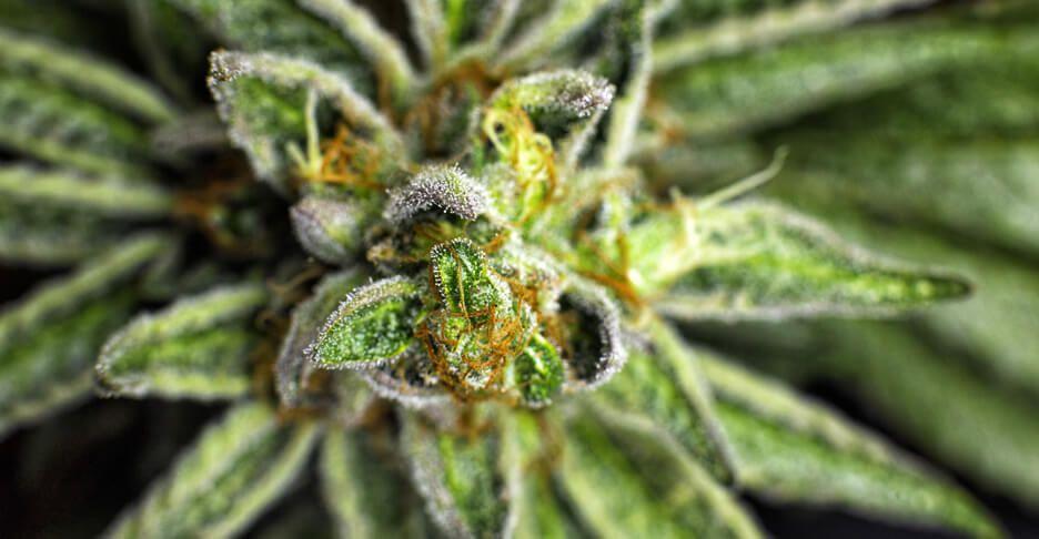 maximizing smell and taste for mariuana