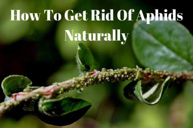 naturally removing aphids