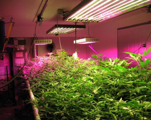 powerful lights for growing cannabis