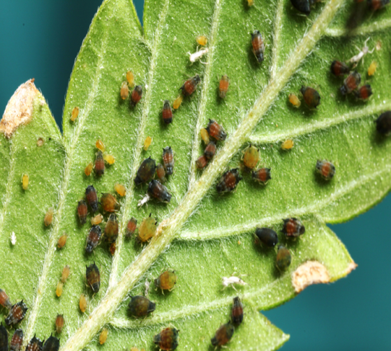 scale insects on leaves
