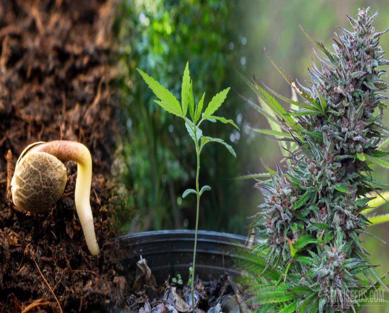 cannabis life cycle