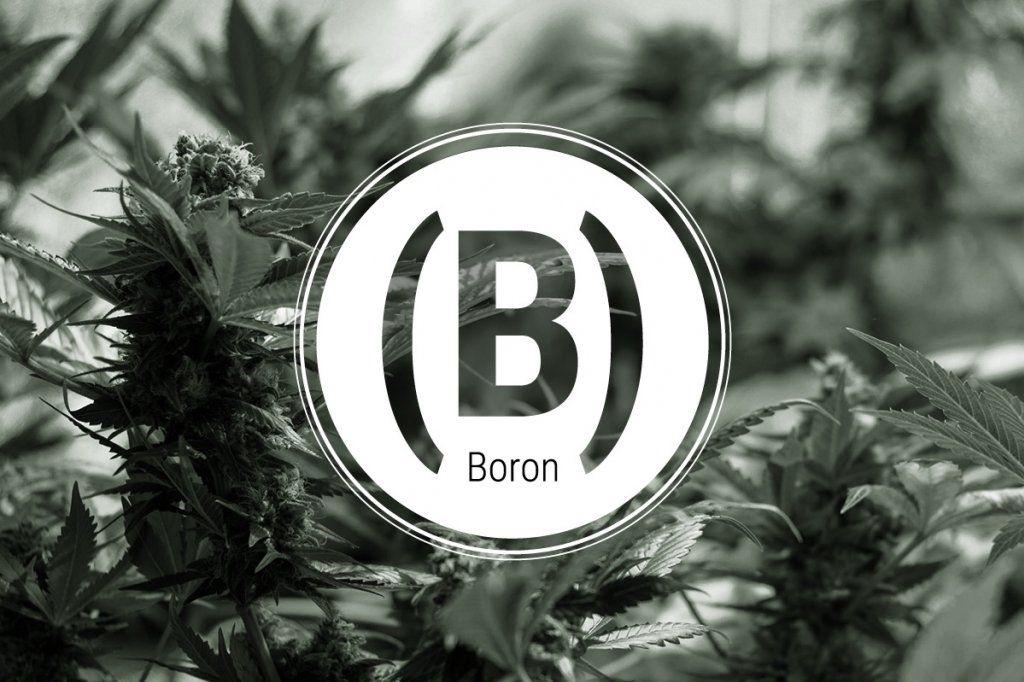 boron cannabis