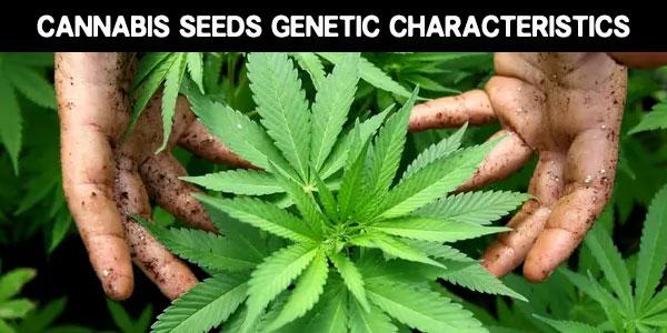 Different cannabis genetics