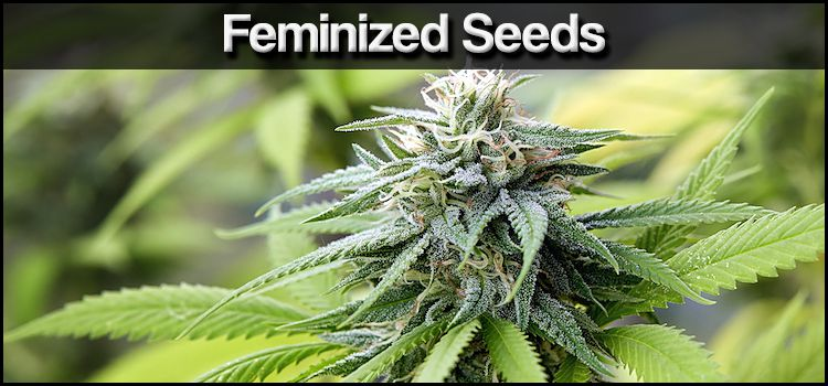 Buy Feminized Cannabis Seeds Online