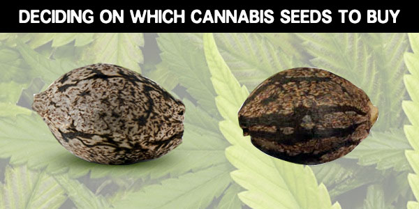 which cannabis seeds should you buy
