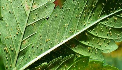aphids on cannabis leaf