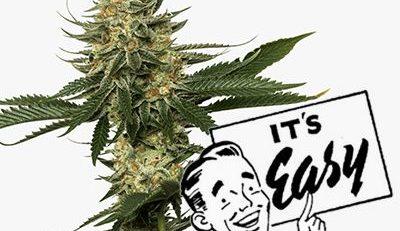 easy cannabis strains to grow