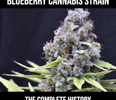 history of blueberry strain