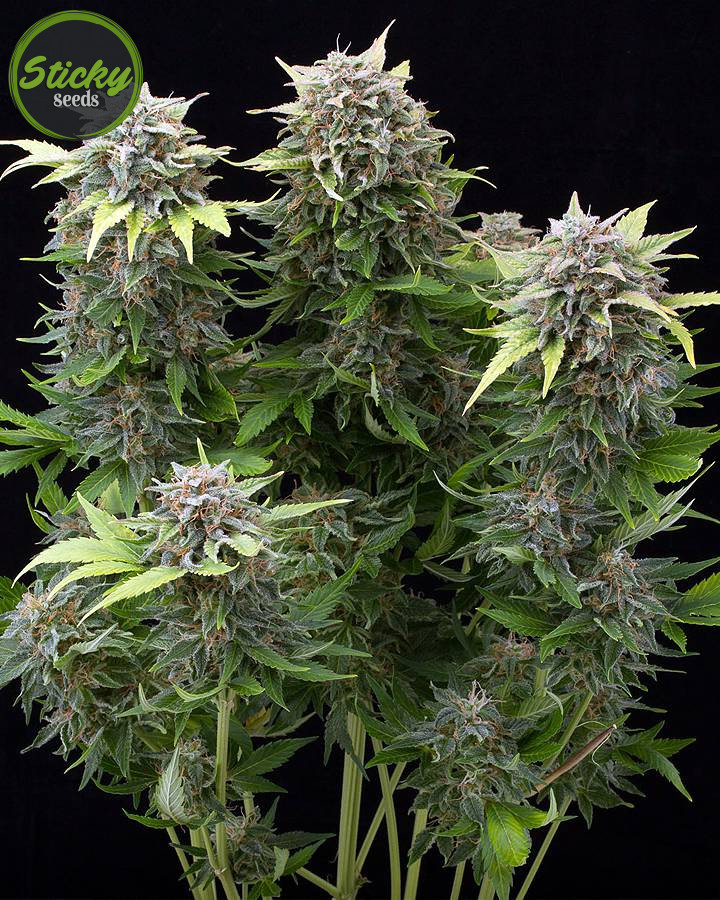 Auto Moby Dick Seeds