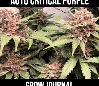 Auto Critical Purple Grow Journal
