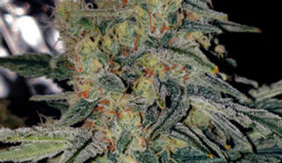 top 5 strains for outdoors uk